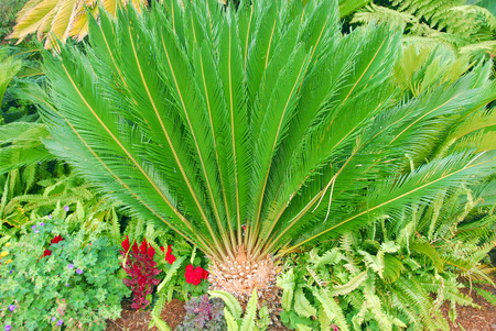 Cycad Palm plant Stock Photo