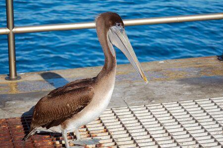 Pelican Bird 版權商用圖片