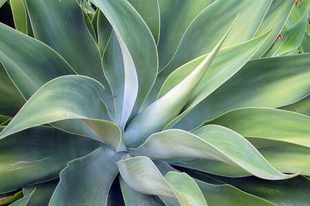 Aloë Succulent Stockfoto