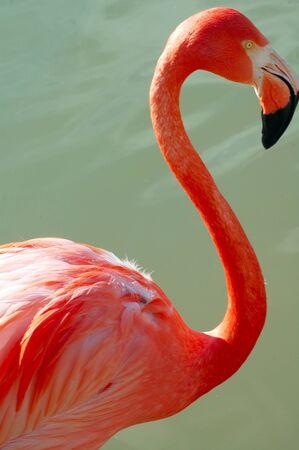 flamenco ave: Flamingo ave closeup