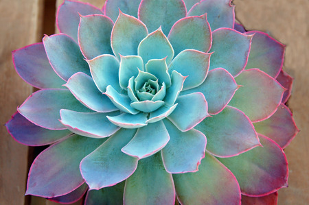 Succulent plant showing colors
