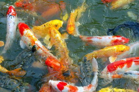 Colorful Koi Fishes in pond Stock Photo