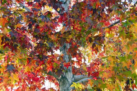 Leaf Fall Season Maple photo