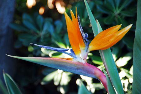 ikebana: Flower Bird Of Paradise Strelitzia reginae