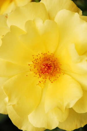 sepal: Yellow Rose Closeup Stock Photo