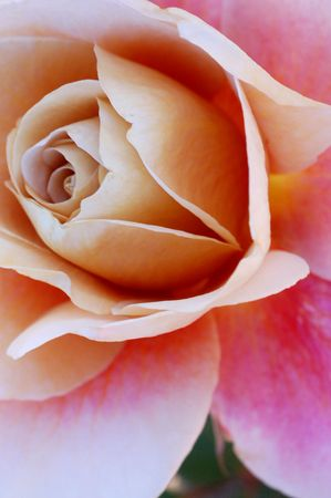 sepal: Rose Flower Stock Photo