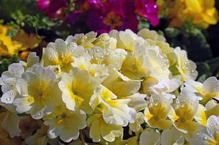 dewdrops: Dewdrops on Flower