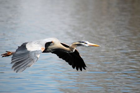 Grey Heron Bird at Lake photo