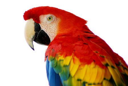 A closeup head shot of a red macaw bird