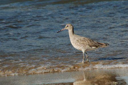 larus: Herring Seagull