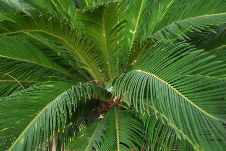 cycad: Cycad Palm plant Stock Photo