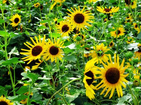 Yellow Sunflowers in Bloom in a field during the day