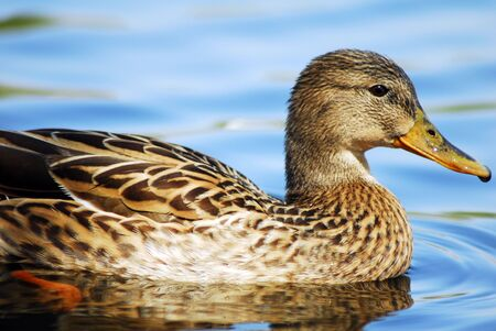 An Isolated brown Mallard Duck Swimming in water photo