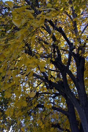 Yellow Leaves on a Ginkgo tree in Fall Season Banco de Imagens