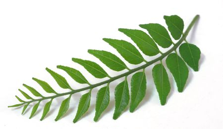 An isolated shot of Green Tender Curry Leaves Stock Photo - 3468539
