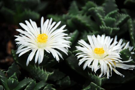 Lithops with white flowers Stock Photo