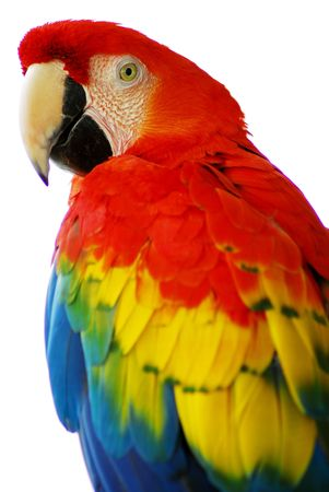 Red Blue Macaw Bird Isolated Stockfoto