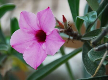 An isolated shot of a pink Desert Rose, Adenium Flower photo