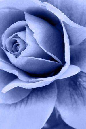 sepals: Rose Flower Stock Photo
