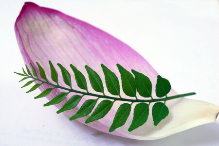 An abstract shot of Pink Lotus Petal and Green CUrry Leaf photo