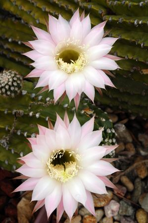 cactus species: Flowering Cactus Echinopsis oxygona
