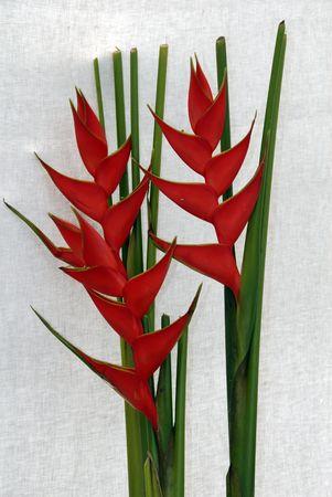 ikebana: Flower Bird Of Paradise  Stock Photo