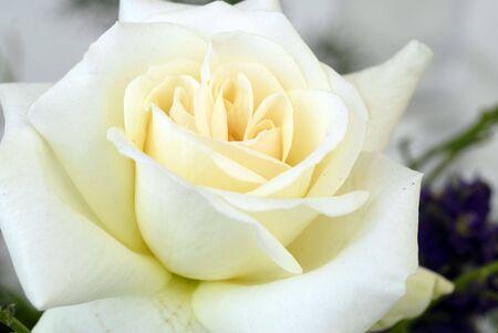 White Rose Flower  Фото со стока