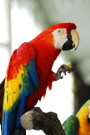 Red Macaw Bird Stock Photo