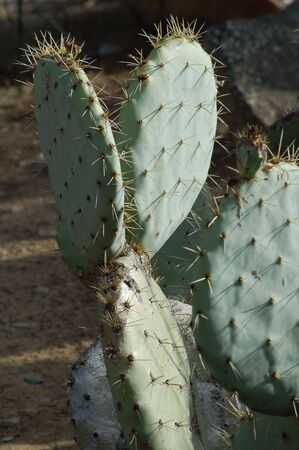genera: Cactus plants