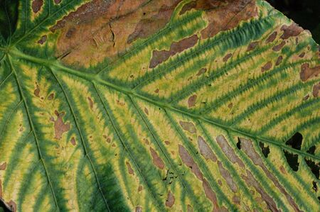 wilting: Leaf Disease Wilting Stock Photo