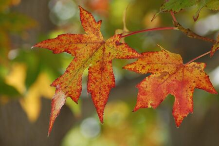 Canada Maple Leaf Fall Season Stock Photo - 3731193