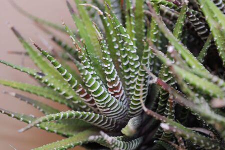genera: Aloe Succulent
