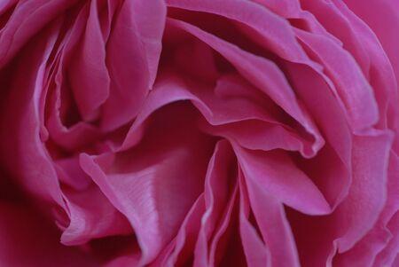 vivre: Pink Rose Petals Closeup