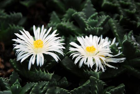 Lithops faucaria candida white flowers Stock Photo