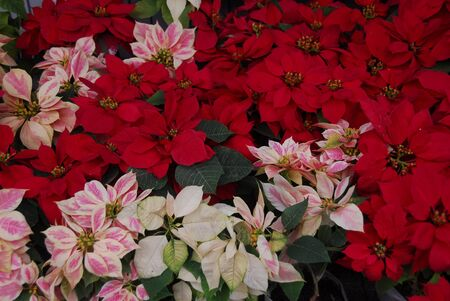 Poinsettia Flowers on Christmas
