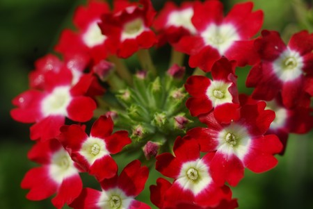 floret: red and white floret flower Stock Photo
