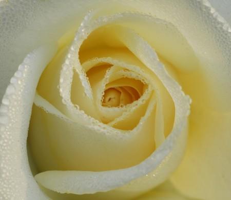 an isolated shot of White Rose Flower Imagens