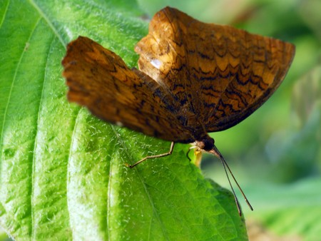 isolated shot of brown angled castor Butterfly insect photo