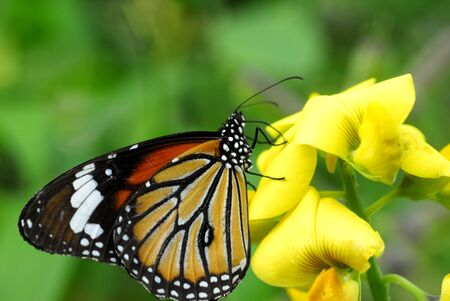 isolated shot of orange tiger Butterfly insect on flower photo