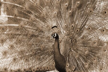 peahen: peacock dance attracting peahen Stock Photo