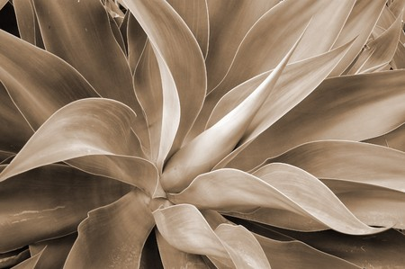 Aloe Succulent