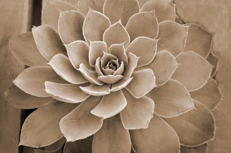 genera: closeup of a Succulent plant showing colors