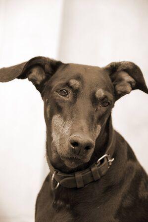 faithfulness: Doberman Dog Closeup Stock Photo