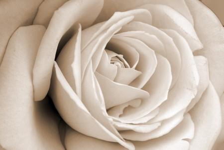 White Rose Flower Archivio Fotografico
