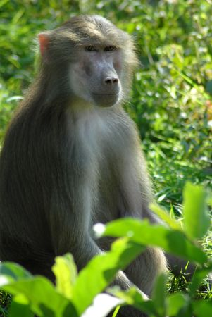 an isolated shot of Baboon monkey animal in jungle Stock Photo - 4651521