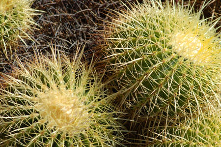 an isolated shot of Echinocactus grusonii Cactus plant Stok Fotoğraf