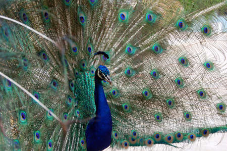 entice: peacock bird dance to attract a peahen