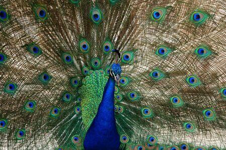 atraer: danza de aves de pavo real para atraer a una pava real Foto de archivo