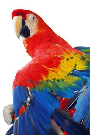 A closeup shot of a Golden Red Macaw Bird