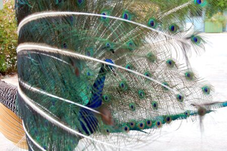 peacock bird dance to attract a peahen photo